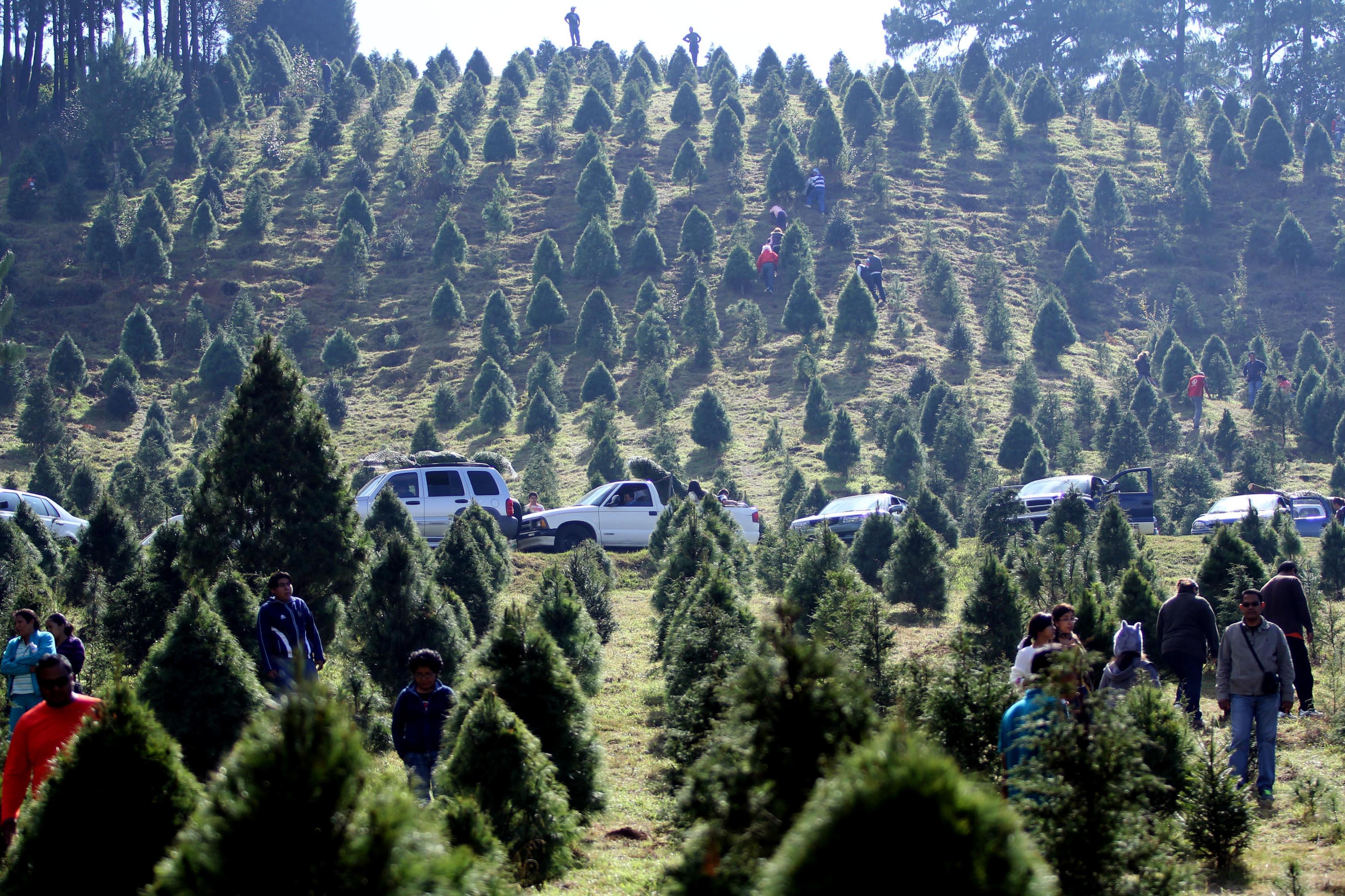 árboles de Navidad en México