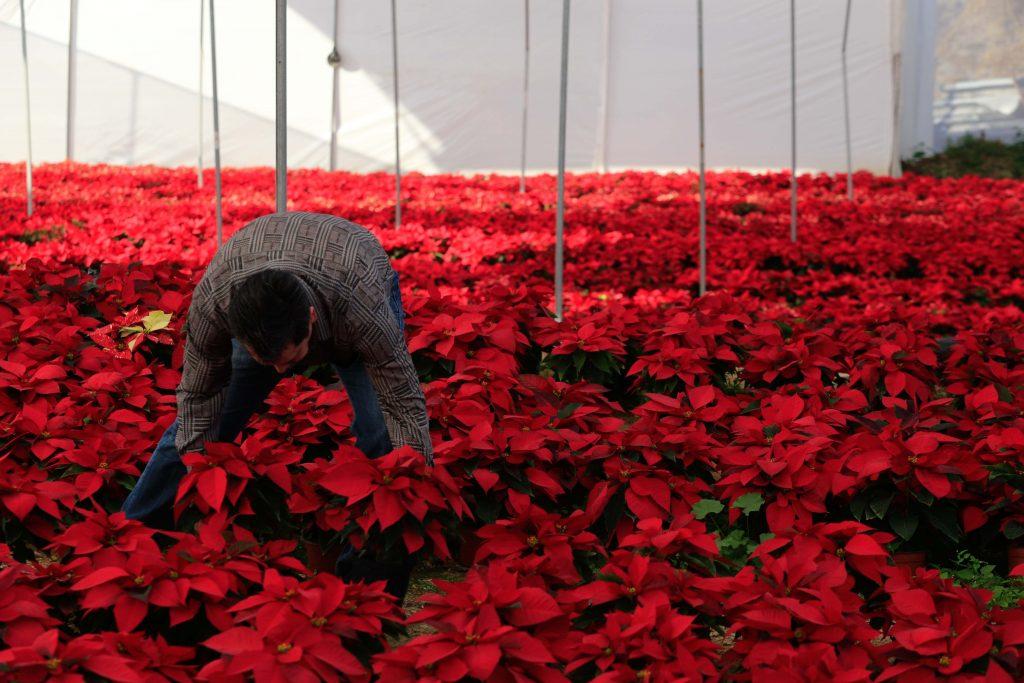 (161216) -- GUERRERO, diciembre 16, 2016 (Xinhua) -- Un hombre trabaja dentro de un vivero de nochebuenas, en el rancho Nuevo Juliantla, en el estado de Guerrero, México, el 16 de diciembre de 2016. De acuerdo con información de la prensa local, el rancho Nuevo Juliantla cultiva alrededor de 17 variedades de nochebuenas, y su producción de este año fue de 22 mil plantas, menor a la de años anteriores por cuestiones climatológicas. Más de 16 millones de plantas de la tradicional flor de Nochebuena estarán listas para adornar los hogares y plazas de México en la temporada navideña. (Xinhua/David Guzmán) (ma) (da)