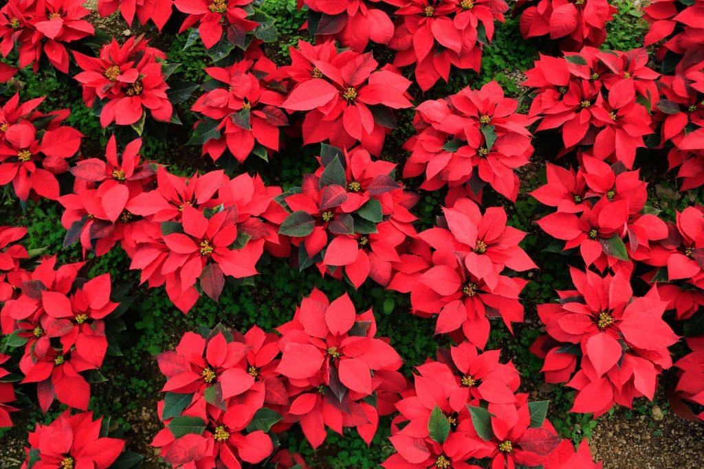 (161216) -- GUERRERO, diciembre 16, 2016 (Xinhua) -- Vista de nochebuenas cultivadas en el rancho Nuevo Juliantla, en el estado de Guerrero, México, el 16 de diciembre de 2016. De acuerdo con información de la prensa local, el rancho Nuevo Juliantla cultiva alrededor de 17 variedades de nochebuenas, y su producción de este año fue de 22 mil plantas, menor a la de años anteriores por cuestiones climatológicas. Más de 16 millones de plantas de la tradicional flor de Nochebuena estarán listas para adornar los hogares y plazas de México en la temporada navideña.  (Xinhua/David Guzmán) (ma) (da)