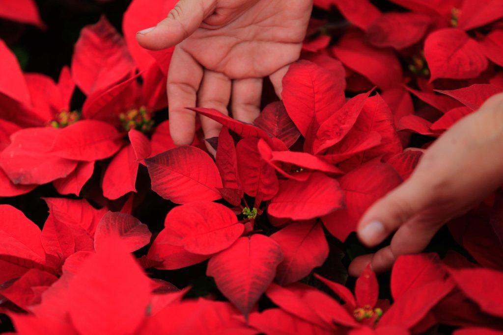(161216) -- GUERRERO, diciembre 16, 2016 (Xinhua) -- Una persona muestra nochebuenas cultivadas en el rancho Nuevo Juliantla, en el estado de Guerrero, México, el 16 de diciembre de 2016. De acuerdo con información de la prensa local, el rancho Nuevo Juliantla cultiva alrededor de 17 variedades de nochebuenas, y su producción de este año fue de 22 mil plantas, menor a la de años anteriores por cuestiones climatológicas. Más de 16 millones de plantas de la tradicional flor de Nochebuena estarán listas para adornar los hogares y plazas de México en la temporada navideña. (Xinhua/David Guzmán) (ma) (da)