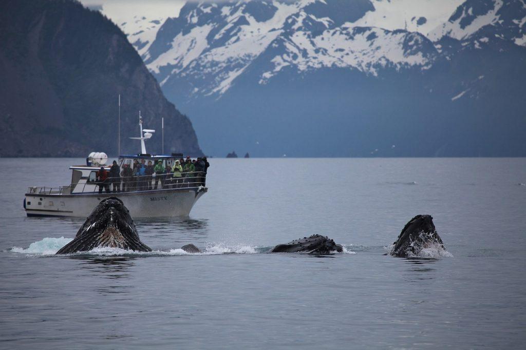 humpback-whale-1744273_1280
