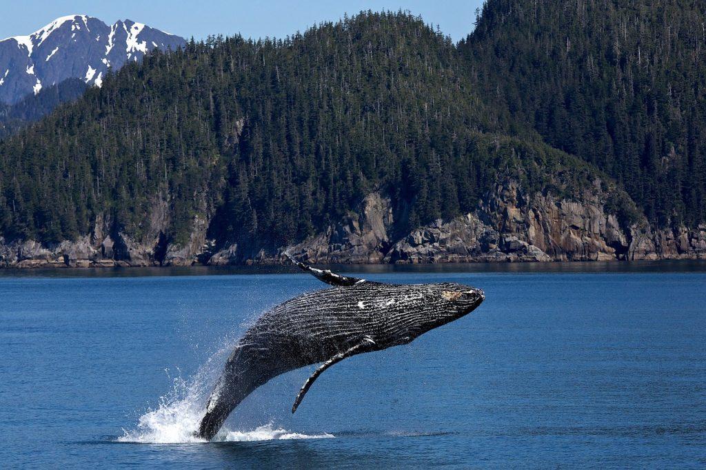 humpback-whale-1984341_1280