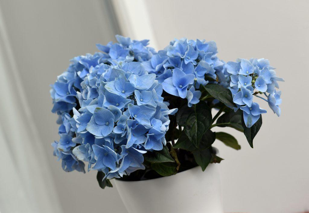 Las Hortensias Azules Necesitan Ayuda Para Mantener Su Color El - Color-de-las-hortensias